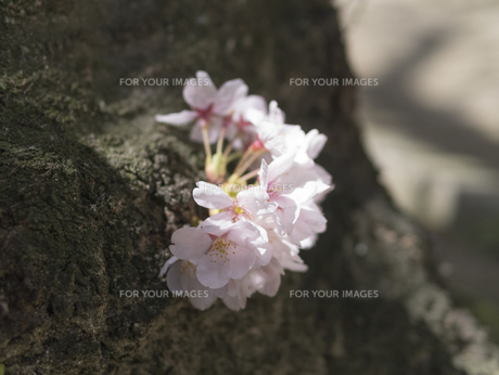 枝分かれに咲く桜 の写真素材 [FYI00238847]