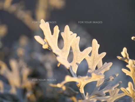 夕日に照らされるシロタエギクの葉の写真素材 [FYI00238854]