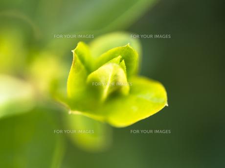 ふんわり木の芽の写真素材 [FYI00238856]