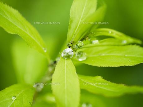 葉雫に虫の写真素材 [FYI00238862]