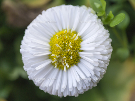 白い雛菊の写真素材 [FYI00238872]