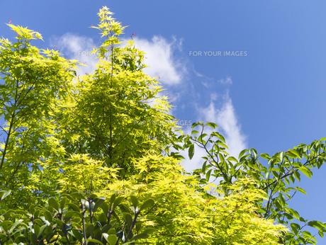 新緑と青空の写真素材 [FYI00238874]