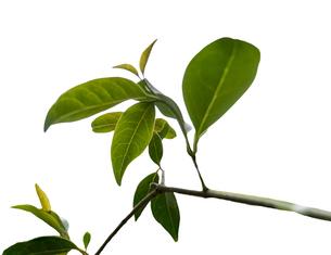 葉っぱと枝の写真素材 [FYI00238892]