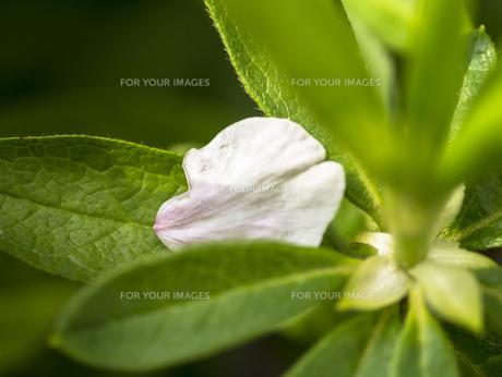 桜の花びらに葉の写真素材 [FYI00238900]