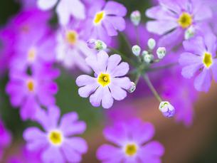 サクラソウの花と蕾の写真素材 [FYI00238901]