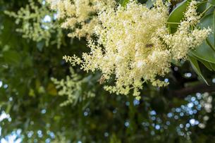 トウネズミモチの花と蜂の写真素材 [FYI00238907]