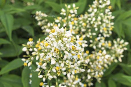 ナンテンの花の写真素材 [FYI00238912]