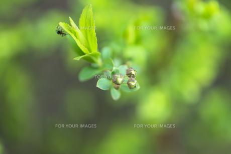 ユキヤナギの蕾と虫の写真素材 [FYI00238918]