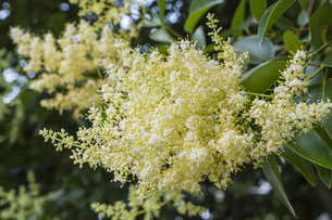 トウネズミモチの花の写真素材 [FYI00238922]