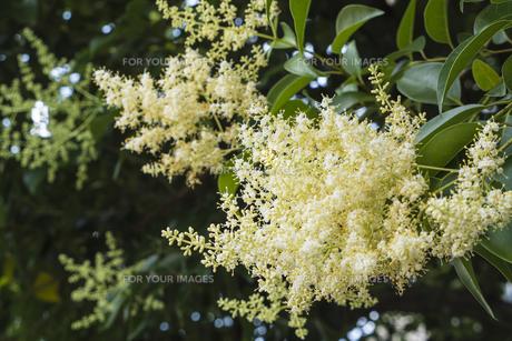 トウネズミモチの花に隠れてる蜂の写真素材 [FYI00238923]