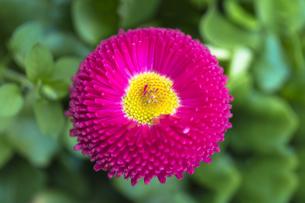 赤い雛菊の写真素材 [FYI00238927]
