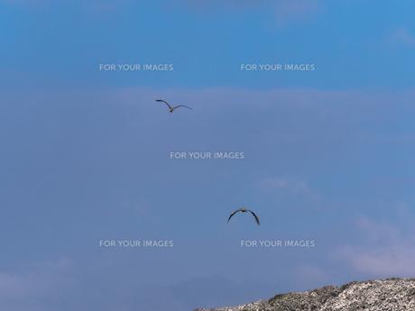 飛んでいる鳥の写真素材 [FYI00238941]