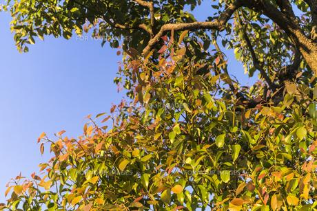 夕日に照らされる葉の写真素材 [FYI00238944]