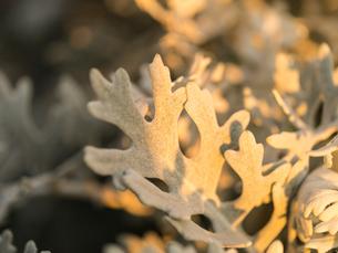 シロタエギクの葉の素材 [FYI00238988]