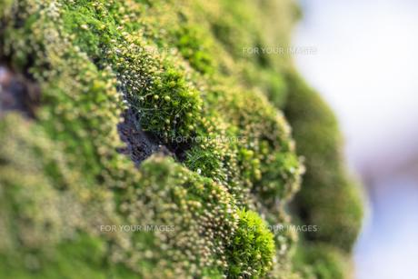 苔の素材 [FYI00239016]