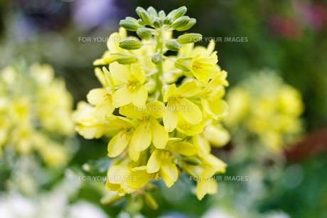 葉牡丹の蕾と花の素材 [FYI00239038]