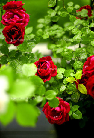 roseの素材 [FYI00239055]