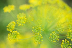 アンミ・ユマス 集合花の写真素材 [FYI00239113]