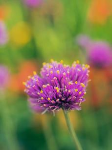 カラフルな花の写真素材 [FYI00239148]
