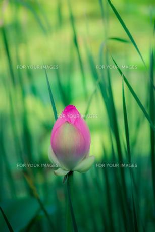 葦と蓮の写真素材 [FYI00239163]