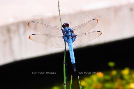 青いトンボの写真素材 [FYI00239196]