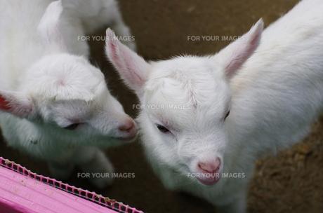 子ヤギの写真素材 [FYI00239201]