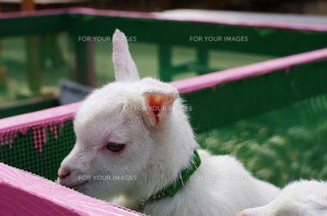 子ヤギの写真素材 [FYI00239219]