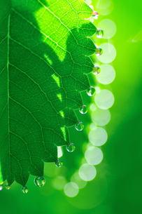葉先の水滴の素材 [FYI00239491]
