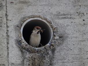 スズメの巣作りの写真素材 [FYI00239664]