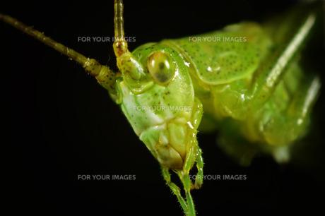 ヤブキリの幼虫の写真素材 [FYI00240253]