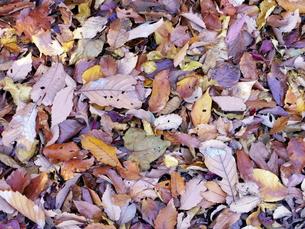 一面の落ち葉の写真素材 [FYI00240307]