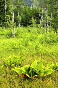夏の乗鞍高原の湿地の写真素材 [FYI00240426]