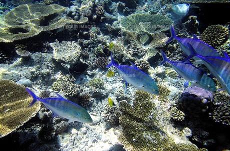 インド洋の真珠モルディブの美しいサンゴ礁の海を元気に泳ぐカスミアジの群れの写真素材 [FYI00240430]