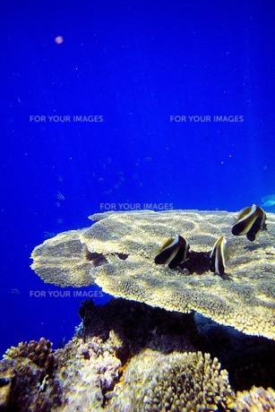 インド洋の真珠モルディブの美しいサンゴの上で休息する熱帯魚達の写真素材 [FYI00240432]