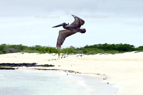 ガラパゴス諸島の美しい海岸を翔ぶカッショクペリカンの写真素材 [FYI00240453]