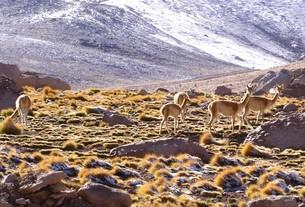 南米チリのアンデス山脈、アタカマ高地に生息する野生のビクーニャの群の写真素材 [FYI00240463]