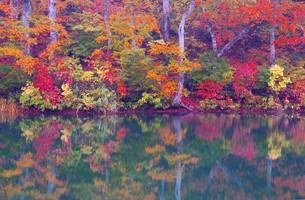 美しい紅葉の盛りを迎えた長野県小谷村の鎌池の写真素材 [FYI00240466]