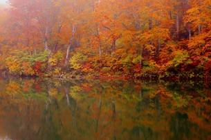 美しい紅葉の盛りを迎えた長野県小谷村の鎌池の写真素材 [FYI00240468]