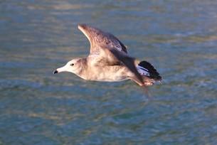 伊豆半島下田沖の相模湾の海面近くを飛ぶカモメの写真素材 [FYI00240494]