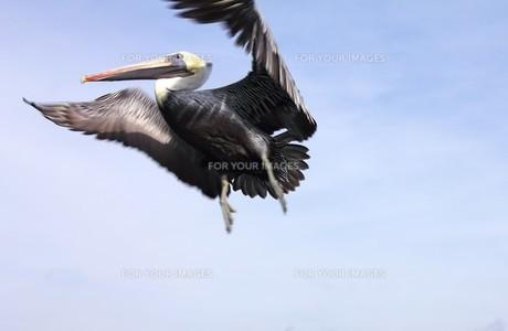 米国テキサス州メキシコ湾岸の空を舞うペリカンの写真素材 [FYI00240495]