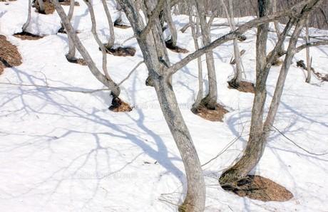 雪国に春の訪れを告げる山林の根開きの写真素材 [FYI00240496]