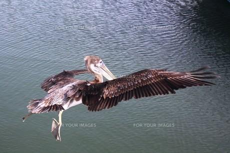 米国テキサス州メキシコ湾岸の海岸線を舞うペリカンの写真素材 [FYI00240499]