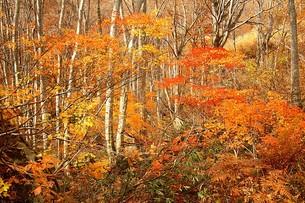 鮮やかな紅葉に染まる信州、長野県小谷村の秋の写真素材 [FYI00240502]