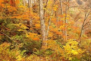 鮮やかな紅葉に染まる信州、長野県小谷村の秋の写真素材 [FYI00240503]