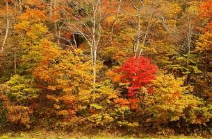 鮮やかな紅葉に染まる信州、長野県小谷村の秋の写真素材 [FYI00240505]