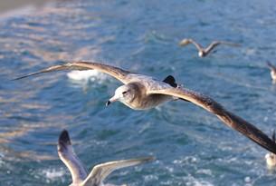伊豆半島下田沖の相模湾の海面近くを飛ぶカモメの写真素材 [FYI00240514]
