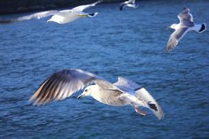 伊豆半島下田沖の相模湾の海面近くを飛ぶカモメの写真素材 [FYI00240515]