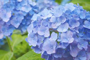 紫陽花クローズアップ - 梅雨イメージの写真素材 [FYI00240531]