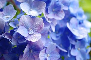 紫陽花クローズアップ - 梅雨イメージの写真素材 [FYI00240539]
