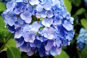 紫陽花クローズアップ - 梅雨イメージの写真素材 [FYI00240544]